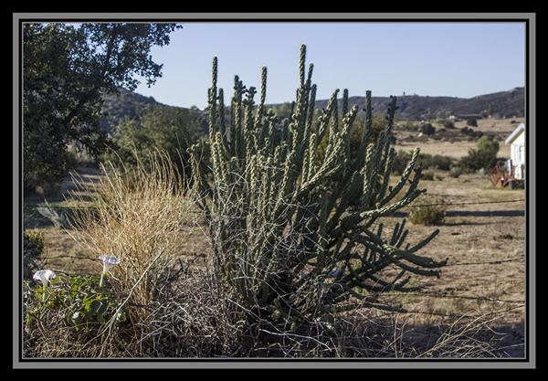 Chollas cactus, State Route 94, San Diego County, California
