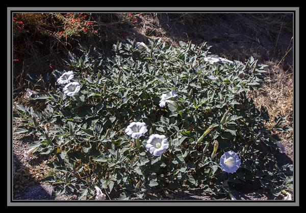 Datura, State Route 94, San Diego County, California