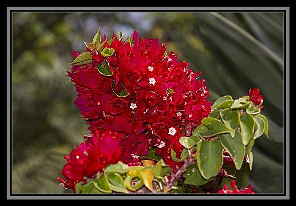 Bougainvillea, Friday Flower Fiesta, October 12, 2012