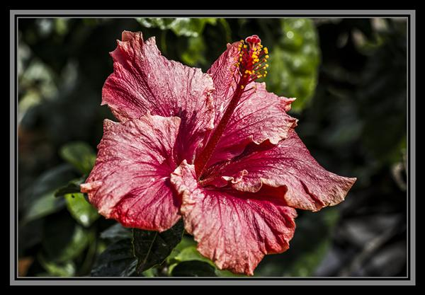 Hibiscus, Friday Flower Fiesta, October 12, 2012