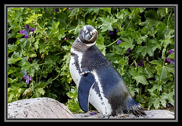 Penguin at SeaWorld San Diego