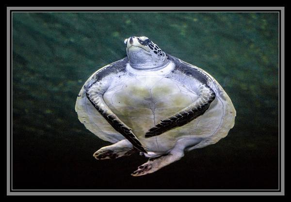 Sea turtle at SeaWorld San Diego
