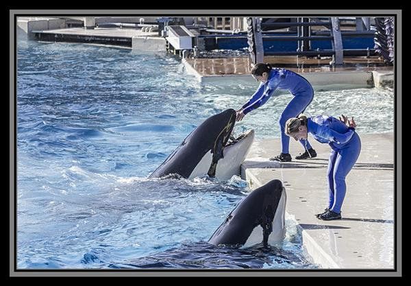 Orca whales at SeaWorld San Diego