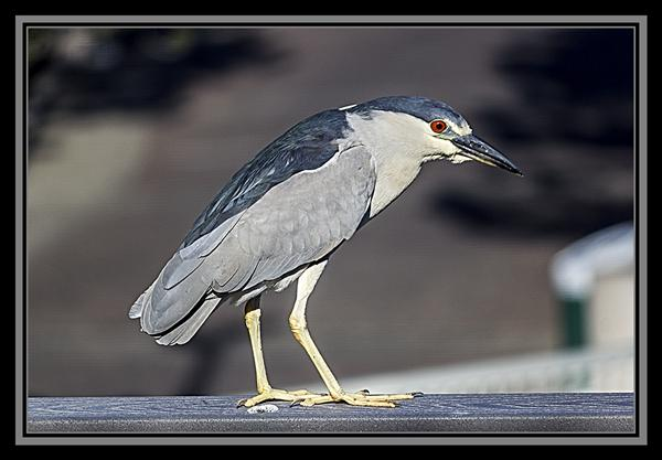 Black-crowned night heron at SeaWorld San Diego