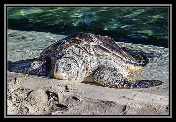 Sea turtle at SeaWorld San Diego