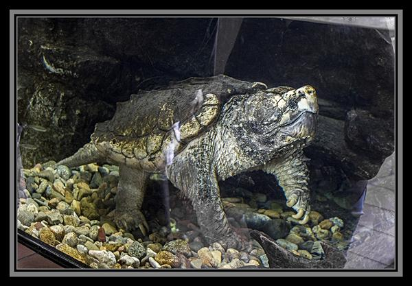 Alligator snapping turtle at the San Diego Zoo