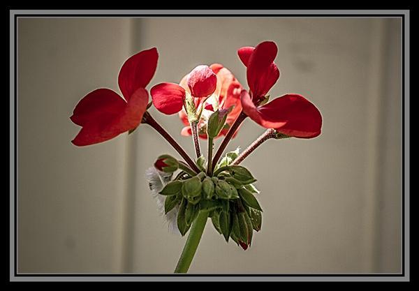 Red pelargonium, Friday Flower Fiesta, October 12, 2012