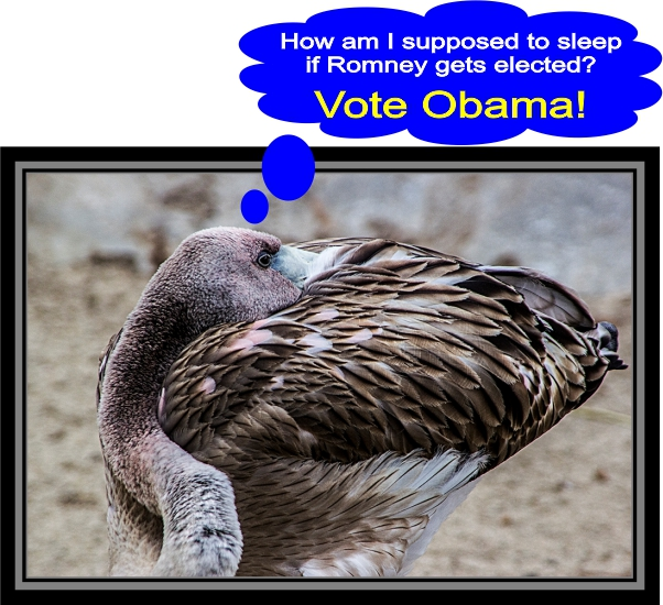 Young flamingos for Obama