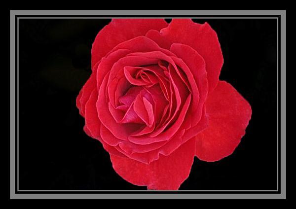 Rose blooming in November in San Diego, California