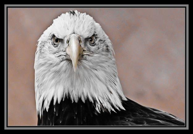 Bald eagle at San Diego Zoo Safari Park
