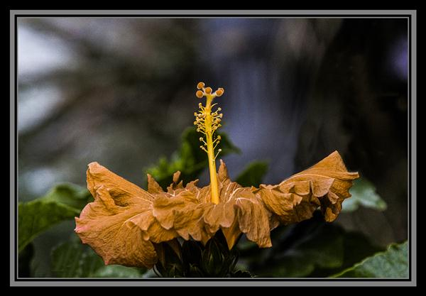 Hibiscus blooming in November at the San Diego Zoo