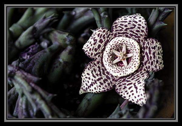 Stapelia from the garden of Russel Ray