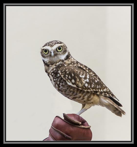 Screech owl, a San Diego Zoo ambassador