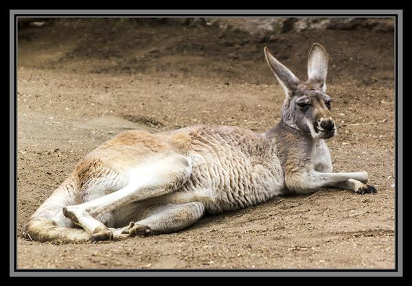 Red kangaroo at the San Diego Zoo