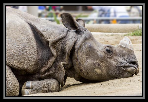 Rhinoceros at the San Diego Zoo