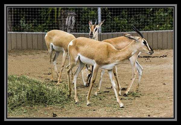 Nubian Soemmerring's Gazelle at the San Diego Zoo