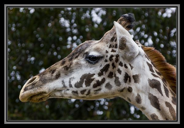 Masai Giraffe at the San Diego Zoo