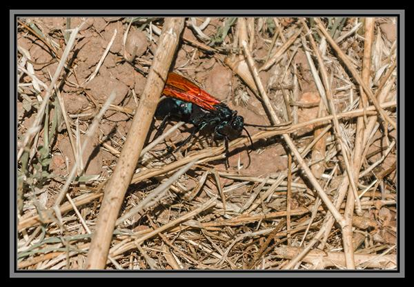 Tarantula hawk at the San Diego National Wildlife Refuge
