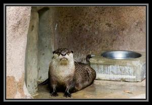 Cape clawless otter, San Diego Zoo