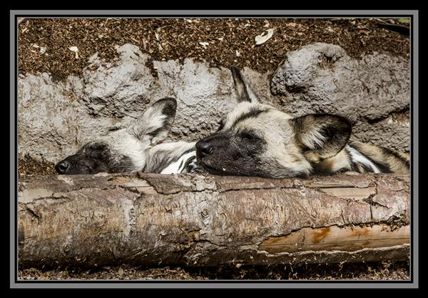 Painted dog, San Diego Zoo