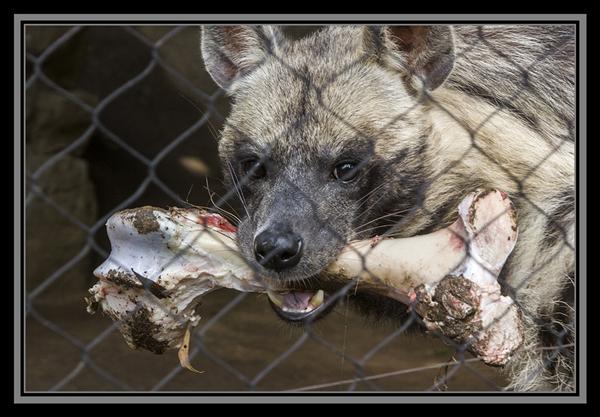 Sudanese striped hyena, San Diego Zoo