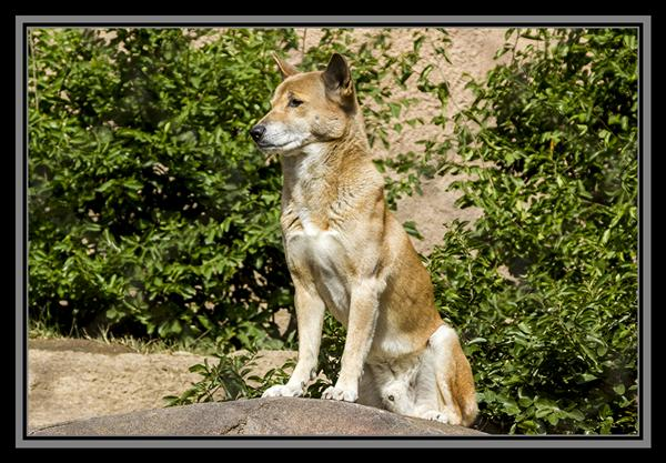 New Guinea singing dog, San Diego Zoo