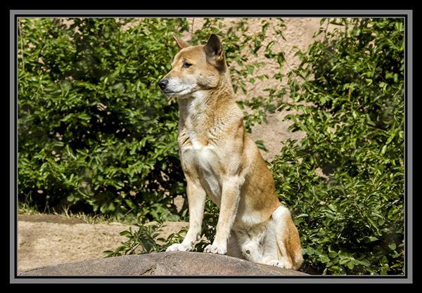 New Guinea singing dog, San Diego Zoo