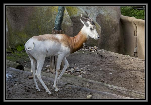 Addra gazelle, San Diego Zoo