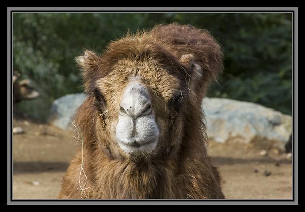 Bactrian camel, San Diego Zoo