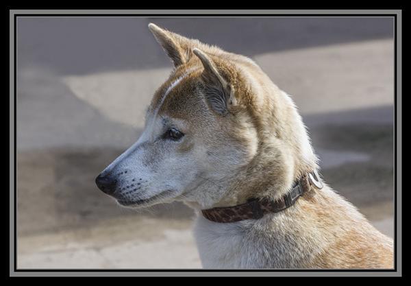 Wild dog, San Diego Zoo Ambassador