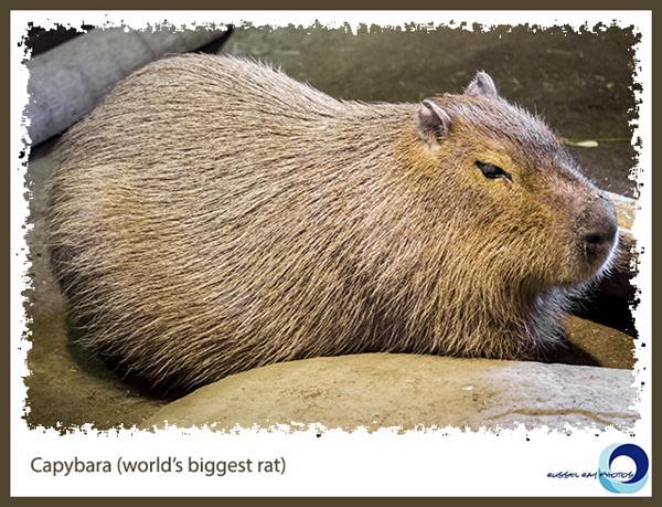 Capybara at SeaWorld San Diego