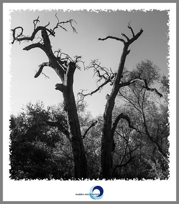 Dead trees in San Diego National Wildlife Refuge