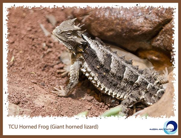 Giant horned lizard at the San Diego Zoo