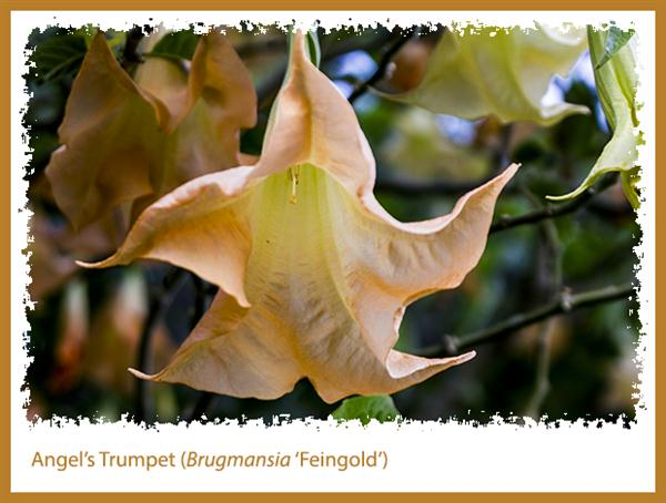 Brugmansia 'Feingold'