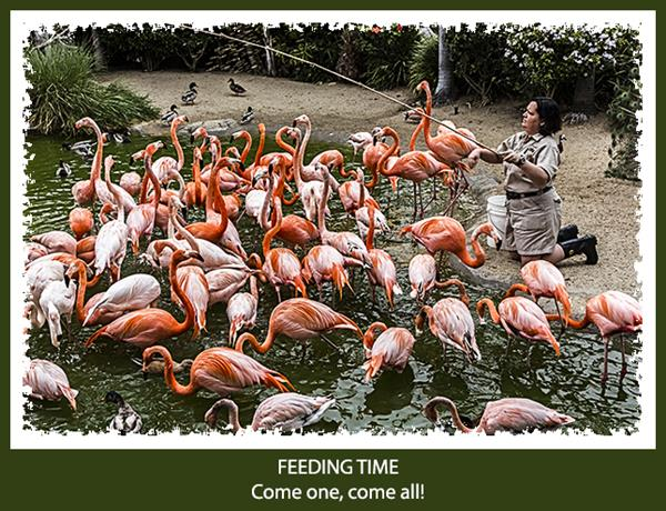 Flamingo feeding time at the San Diego Zoo