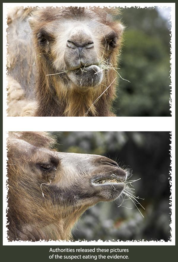 Camel mug shots