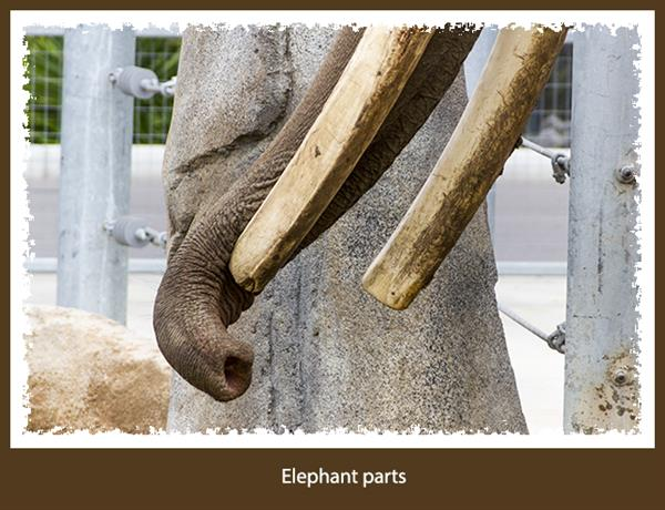 Elephant at the San Diego Zoo