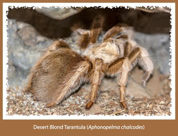 desert blond tarantula