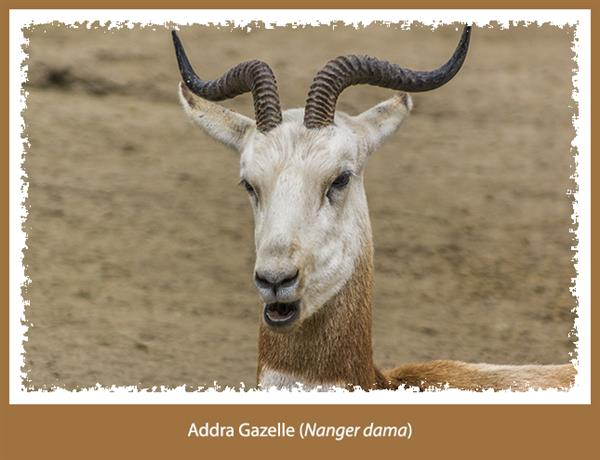 addra gazelle
