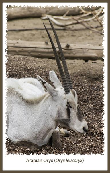 Arabian oryx at the San Diego Zoo