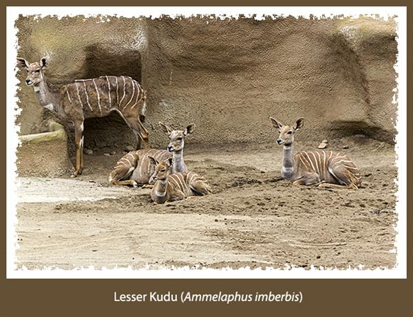 Lesser kudu at the San Diego Zoo