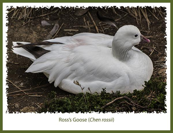 Ross's Goose at the San Diego Zoo