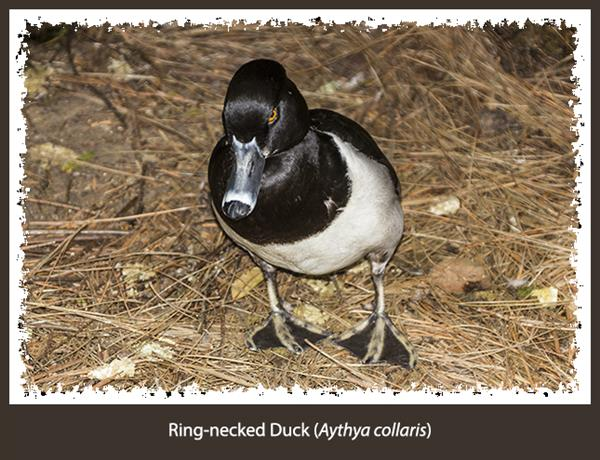 Ring-necked Duck at the San Diego Zoo