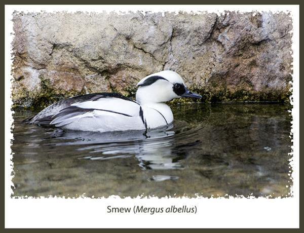 Smew at the San Diego Zoo