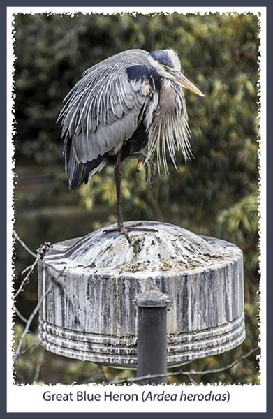 Great Blue Heron at the San Diego Zoo