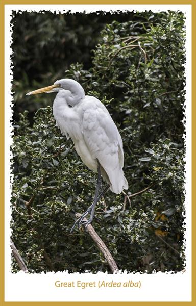 Great Egret at the San Diego Zoo