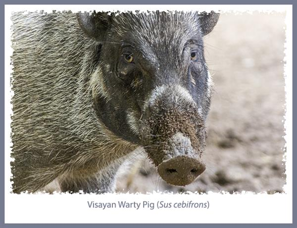 Visayan Warty Pig at the San Diego Zoo