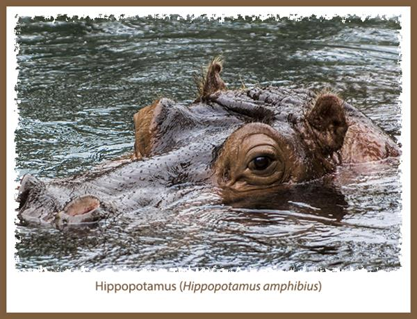 Hippopotamus at the San Diego Zoo