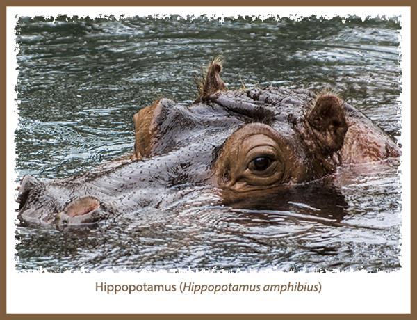 Hippopotamus at the San Diego Zoo