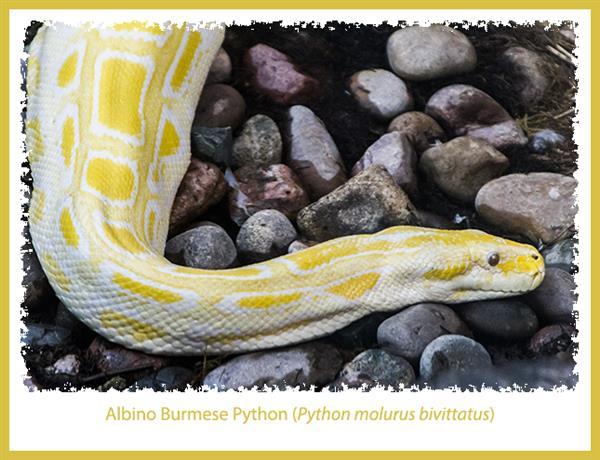 Albino Burmese Python at the San Diego Zoo